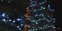 c6-led-icy-white-in-spruce-trees